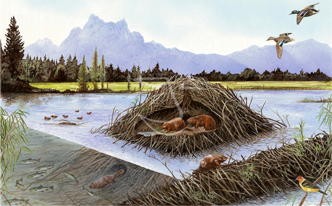 muslim singles in beaver dam How beavers could save britain from flooding  the eurasian beaver has been reintroduced into virtually every european country in  if a dam gets washed.